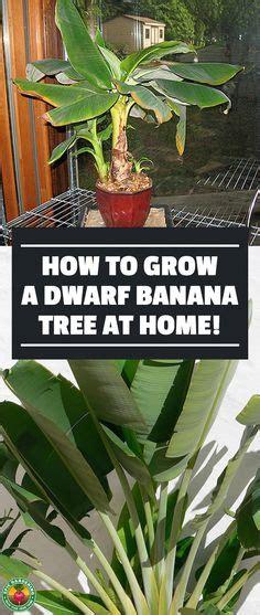 banana plant indoor images indoor plants indoor