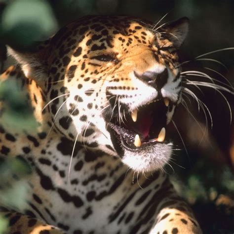 mexican jaguars a list of endangered animals in mexico usa today