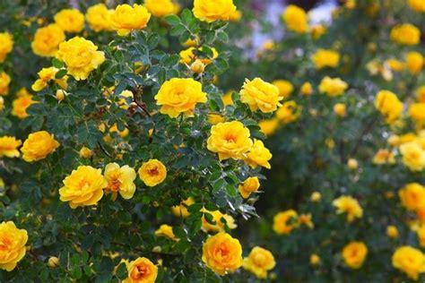 come curare le roselline in vaso cura delle come curare le