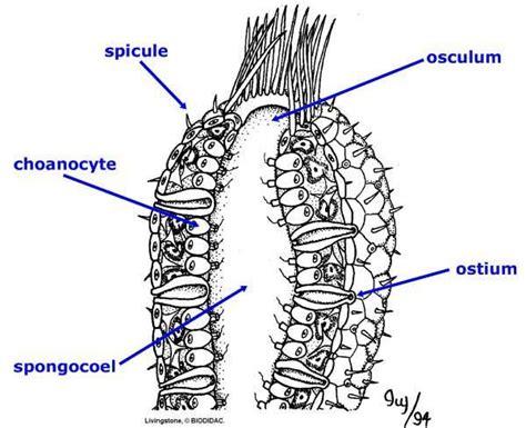 sponge diagram porifera zoology 230 with gerbec at of