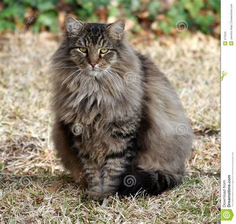 Fluffy Maine Coon Mix stock image. Image of walz, outdoor