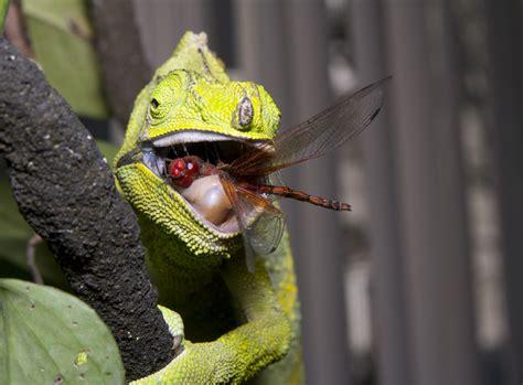 The Chameleon by The Chameleon Farm Beginners Guide To Feeding Chameleons