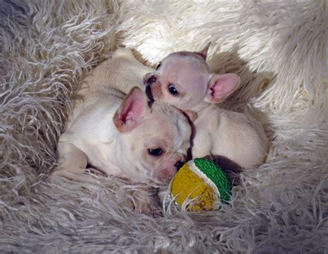 miniature bulldog puppies for sale mini bulldog puppies for sale 3resize bulldogs in los breeds picture