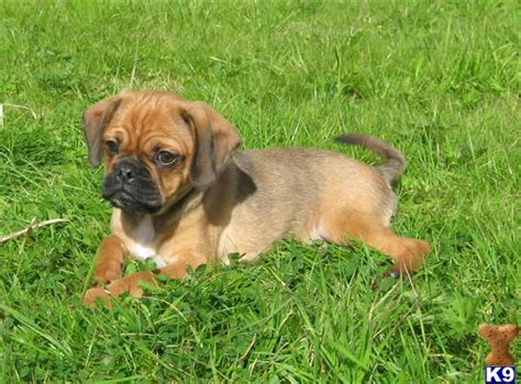 pug cross cavalier for sale pugalier puppy pug x cavalier pug for sale australia for sale breeds picture