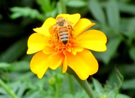 Yellow Bee tulsa gentleman yellow bee on yellow flower