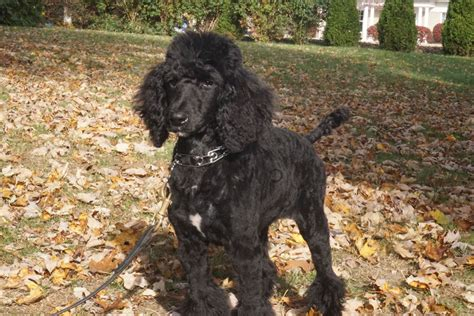 trained companion for sale liza black poodle puppy s best friend
