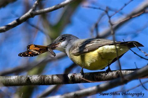 cassin s kingbird eating a monarch butterfly this shot