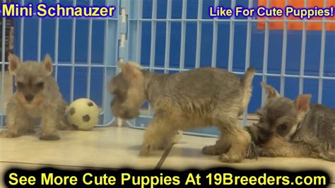 schnauzer puppies for sale in alabama miniature schnauzer puppies dogs for sale in montgomery alabama al 19breeders