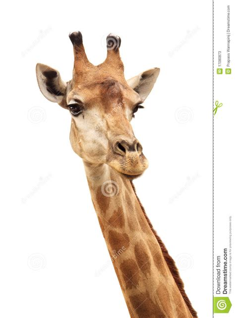 female giraffe head  neck isolated  white stock image image