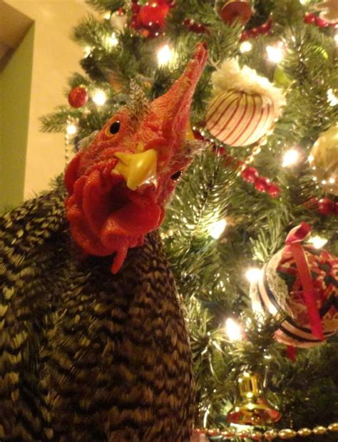 chicken at christmas chickens pinterest