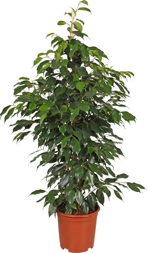 piante verdi da interno ficus benjamina pianta da iterno
