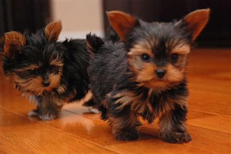 yorkie coton puppies for sale terrier puppies for sale