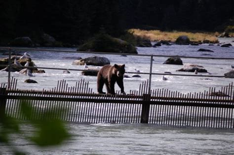 haines alaska fishing boat brown bears fishing for salmon picture of alaska nature
