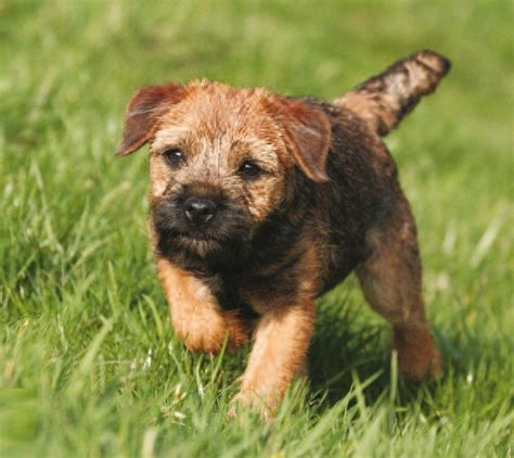 border terrier puppies border terrier pictures information temperament characteristics rescue puppies