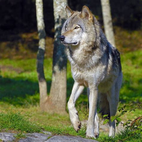 Duvet Sales Timber Wolf Photograph By Tony Beck