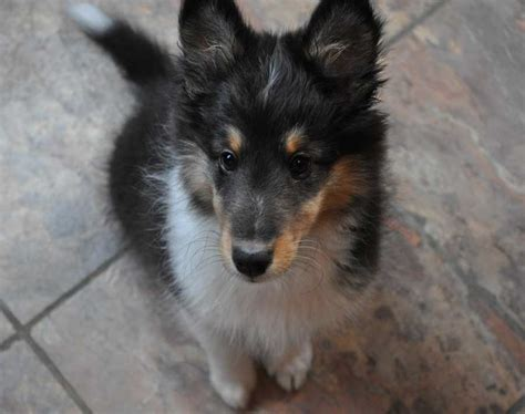 tri color sheltie sheltie nation this is deadly