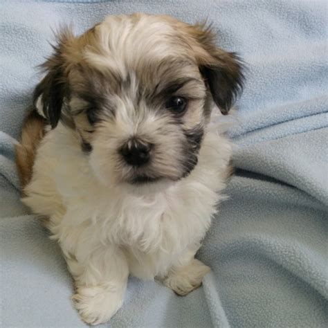 shih tzu rescue massachusetts malshis maltese x shih tzu offer