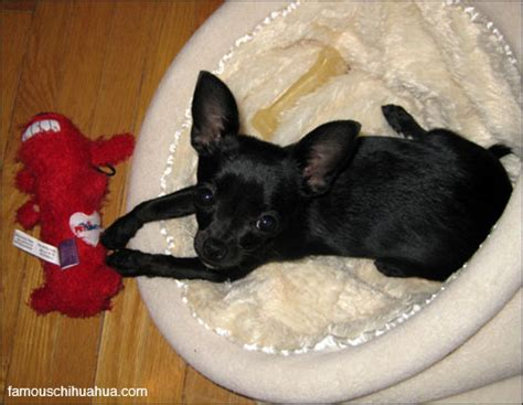 black chihuahua puppies farfl the adorable black purebred chihuahua puppy chihuahua