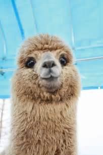 25 best ideas about alpacas on pinterest cute alpaca
