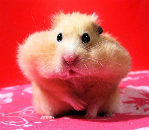 hamster with adorable hamsters food and pictures