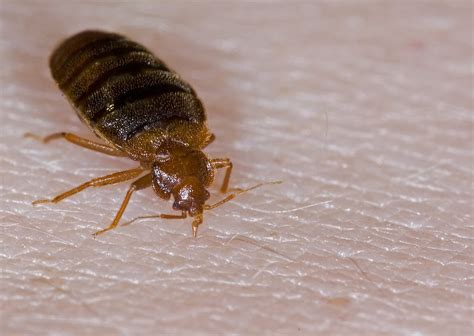 are bed bugs flat bed bug insectox