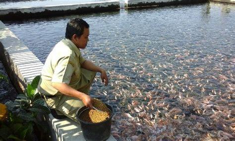 Pakan Lele L1 cara pemberian pakan ikan yang benar infoikan