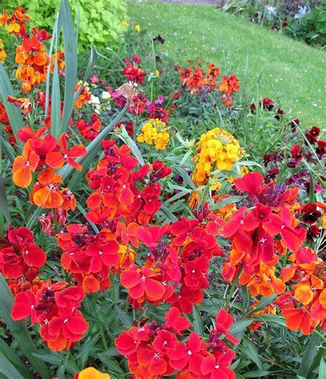 wallflower plants tips for growing wallflowers in the garden