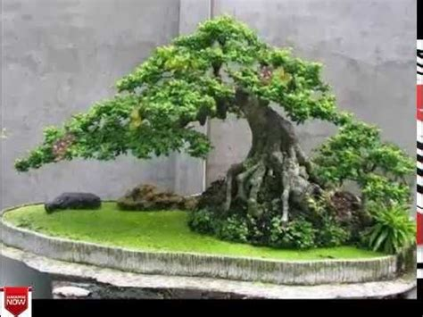most expensive type of tree for christmas tree bonsai tree types images for most expensive bonsai tree in the world