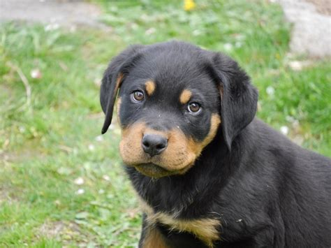 how to take care of rottweiler rottweiler puppy dogable