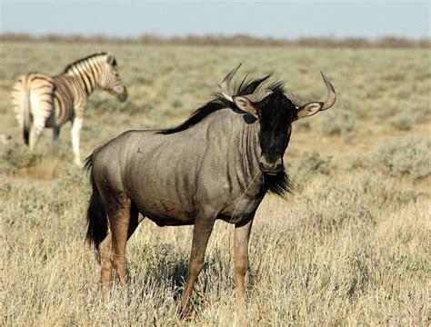 wildebeest interesting animal  amazing facts  wildlife