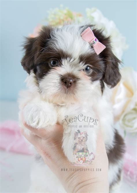 teacup shih tzu puppies for sale in nj shih tzu puppies