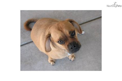 puggle puppies for adoption adopt quotes
