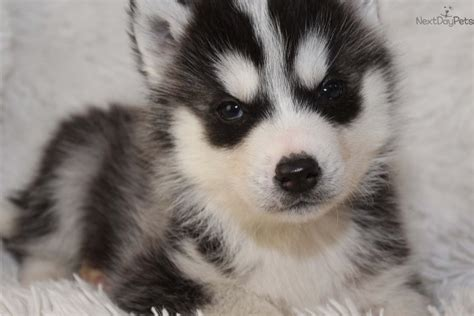 siberian husky puppies for sale in michigan siberian husky puppy for sale near grand rapids michigan 49caf095 2671