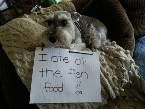 is fish bad for dogs 32 best images about bad dogs on poodles and signs