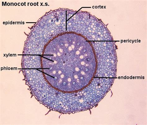 monocot leaf cross section labeled monocot root labeled