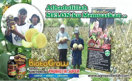 Pupuk Cair Hayati Biotogrow melonku sempurna dan memuaskan biotogrow pupuk cair hayati