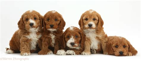 cockapoo puppies indiana dogs five cockapoo puppies in a row photo wp41929