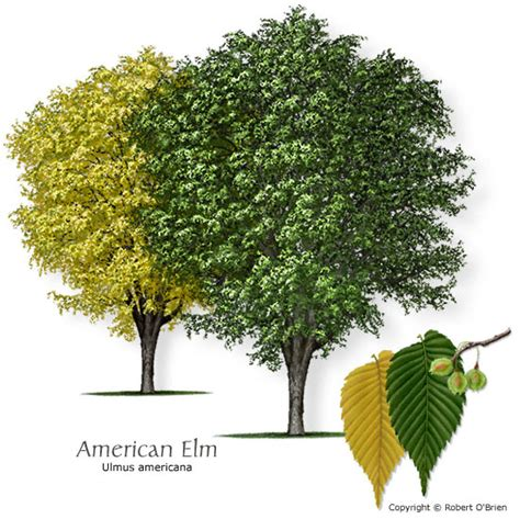 elm tree meaning elm d 233 finition what is