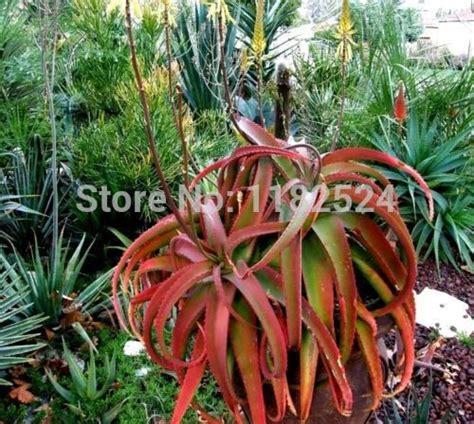 Crrante Lidah Buaya Shoo 1 L aloe vera plants for sale interesting aloe vera plants