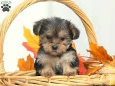 lil yorkies for sale lil yorkie poo puppy for sale in gordonville pa