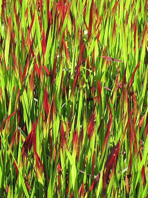 red baron japanese blood grass imperata cylindrica red