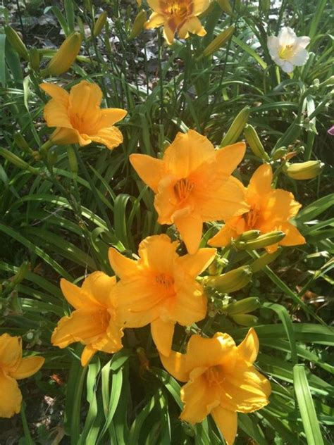 summer flowers the most popular blooms for every month in summer perennials and most popular on pinterest
