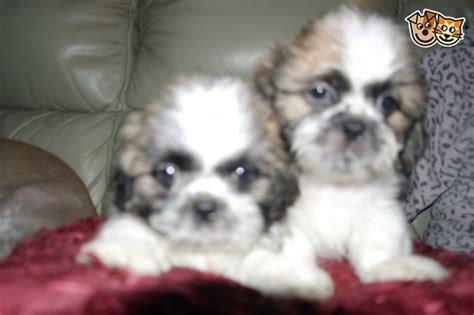 shih tzu puppies for sale in birmingham shih tzu puppies for sale birmingham west midlands pets4homes