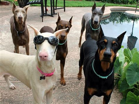 doberman colors doberman colors black rust also called chocolate