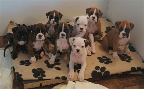 boxer puppies for sale beautiful boxer puppies for sale bedford bedfordshire pets4homes