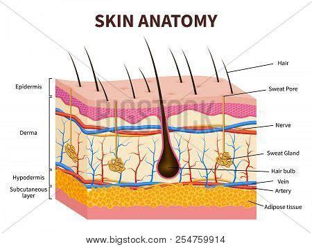 human skin stock photo 169 chaoss 1695911 human skin layered vector photo free trial bigstock