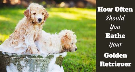 how to bathe a golden retriever how often should i bathe my golden retriever and why