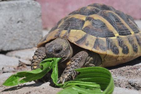 alimentazione tartarughe di terra piccole l alimentazione delle tartarughe di terra ecco cosa mangiano