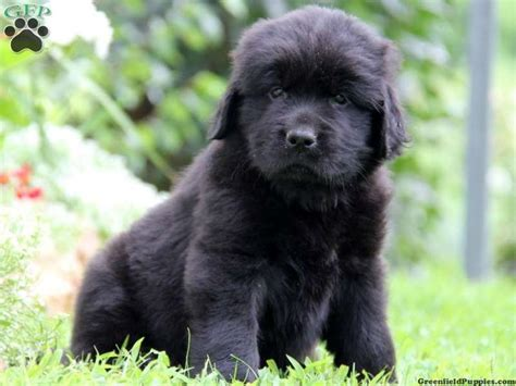 newfoundland puppies for sale in pa 17 best images about newfoundland puppies on newfoundland pets and puppys