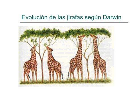 imagenes de las jirafas de darwin teor 237 a de la evoluci 243 n de darwin